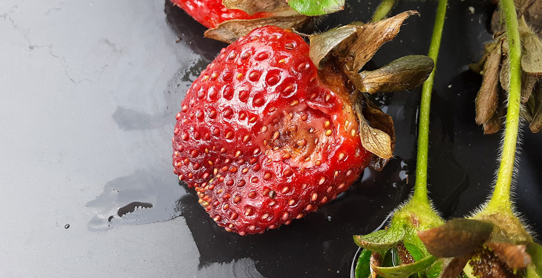 بیماریهای فیزیولوژیکی و تغذیه ای توت فرنگی